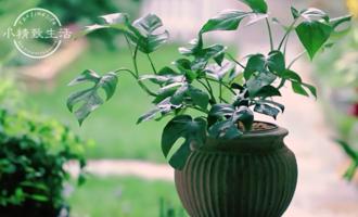 新一代网红绿植,比绿萝漂亮,比龟背竹小巧,喜欢就搬回家吧