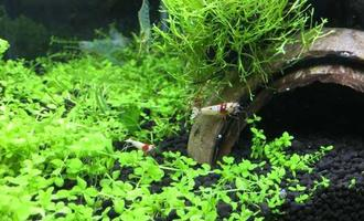 水草缸里不单单只能养鱼,7种易上手的虾类,帮你美化点缀