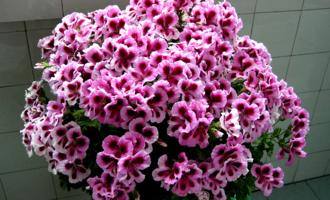 大花天竺葵,养护分3步,来年爆满盆,开成大花球