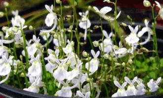 世界危险植物TOP10, 第2和第9小时候常见, 罂粟花没有上榜