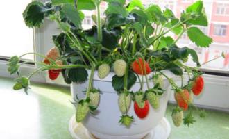 春节吃草莓,记得留几个种在花盆里,还能开花结果,好看又好吃