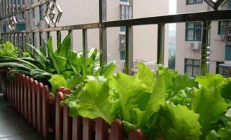 塑料桶种5种蔬菜,放阳台自给自足,吃完一茬又一茬,绿色又健康