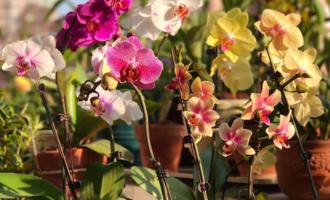 春节买的蝴蝶兰,做好3件事,不用花后扔,还能1盆变多盆