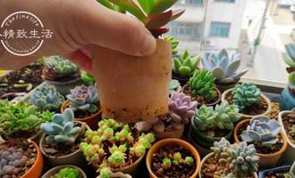 多肉植物夏天不敢浇水?小妙招来了,一个月不浇水,照样出状态