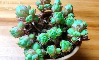 夏天到了,别的多肉植物越变越丑,唯独它,是越变越美