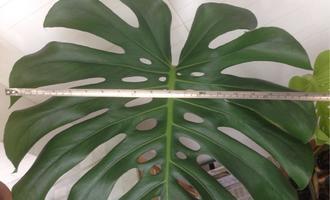 七八月好时节,龟背竹做好三件事,茎干比瓶子粗,叶子近半米