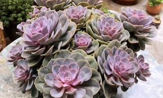 花市买到超美多肉紫珍珠,回家却马上砍了头,肉友:被坑了