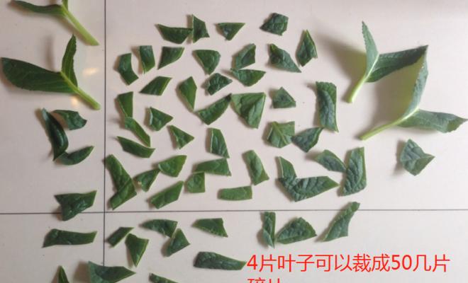 大岩桐叶子裁碎片,简单4步来扦插,轻松出苗10来棵,秒变大户