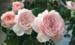 适合阳台的丰花月季:美咲