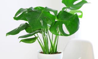 6种盆栽,净化空气吸甲醛,摆在角落也疯长,不爱花也最好选一盆