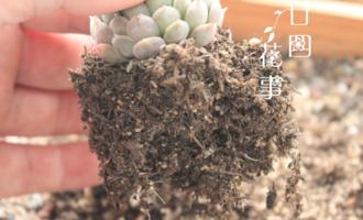 干货:实图说明多肉植物6种根系,烂根一看便知,直观明了