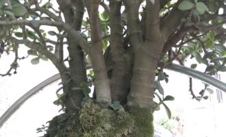"""9月养玉树,跟着老花匠学""""5招"""",明年变成""""老桩树"""""""