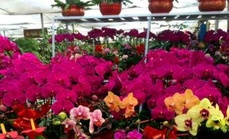 资深花友,12月爱买这3种花,越早买越省钱,春节刚好开爆盆!