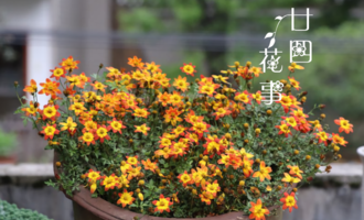 """农村1野草,名字凶恶为""""鬼针"""",如今有了园艺种,盆栽美翻"""