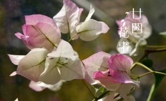 """开春后养三角梅,记住4句""""口诀"""",根系养得好,花朵开得勤"""
