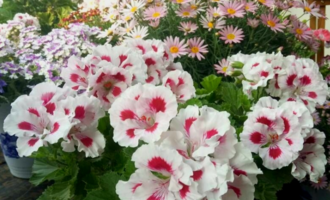 5种花不建议春天买,看不了几天花,夏天还难养,此时入手白花钱