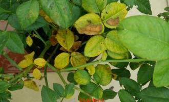 月季花常见的黄叶原因,搭配图片及相应处理方法,很直观