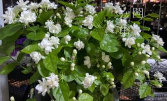 花市买的茉莉花,从选购到过冬都做到位,年年花叶旺,长成老桩
