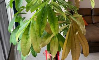 发财树老黄叶,不只是缺水,原因有很多,配图说明一目了然