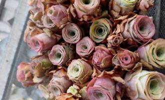 夏天让别的多肉徒长变丑,却让它越变越美,变成永不凋谢的玫瑰