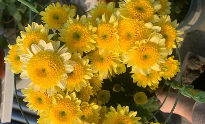 6月赏花之余,别忘了扦插菊花,未雨绸缪,秋冬照样有花赏