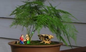 家养文竹,4件事要注意,做到位不黄叶不干尖,郁郁葱葱株型飘逸