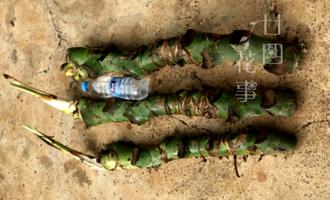 """家养龟背竹,巧用2个""""小窍门"""",杆子比瓶粗,叶子近半米"""