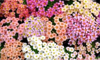 酢浆草秋播保姆级教程,9月种几粒,看花大半年,阳台庭院变花海