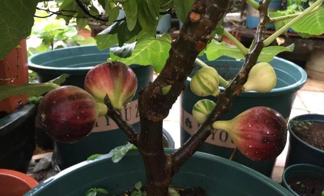 简单5步,9月在阳台扦插无花果,10天发芽,明年实现水果自由